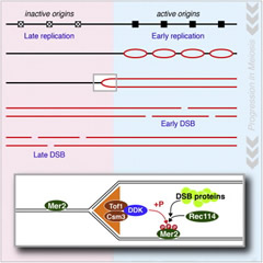 Graphical abstract: To ensure that DNA replication during meiosis is followed by recombination events, a kinase that can promote the formation of double-strand breaks is recruited to the replisome. Consequently, the DNA breaks that initiate recombination are primed to form in the wake of the replication fork.