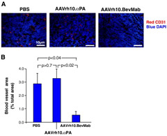 Fig 3. Effects of AAVrh10.BevMab on angiogenesis of ovarian cancer. A2780 cells (5 × 106) were administered intraperitoneally into Balb/c nude mice. One day after tumor cell inoculation, mice were treated with 1011 gc AAVrh10. BevMab or, as controls, AAVrh10.αPA or PBS. On day 24, tumor nodules were collected. Frozen sections were stained with rat anti-mouse CD31 followed by goat anti-rat IgG conjugated with cy3. Nuclei were stained with DAPI. A. CD31 + tumors for PBS control, AAVrh.10αPA control and AAVrh.10BevMab. B. Quantification of blood vessel area. Data were obtained from n = 4 mice per group.