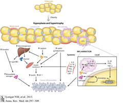 Fig 1. Effects of Adipose Tissue on Insulin Signaling and Lipid Metabolism.