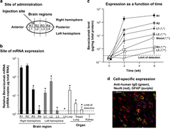 AAVrh.10BevMab-directed expression of bevacizumab in the mouse CNS. (a) Diagram of the mouse brain illustrates regions for expression analysis and site of vector administration. R=right; L=left. (b) Relative quantification of AAVrh.10-directed bevacizumab mRNA expression per microgram of total RNA in each brain region and in peripheral organs (n=3). The limit of detection is denoted by the dashed line. Statistical difference by two-tailed t-test to R1 and R2, P<0.01 is marked with asterisk (*). There was no significant difference between R1 and R2 (P>0.4). (c) Time-dependent quantification of AAVrh.10-directed bevacizumab protein expression in each brain region compared with blood (n=4). The limit of detection denoted by the dashed line. R=right; L=left. Statistical difference by two-tailed t-test to (R1,R2) P<0.05 marked with asterisk (*) and P<0.01 (**). (d) AAVrh.10BevMab-mediated expression of bevacizumab in neurons of the mouse striatum. Shown is immunofluorescent assessment of coronal section of the CNS 4 weeks after administration of AAVrh.10BevMab. Detection of AAVrh.10BevMab-directed expression of bevacizumab was assessed with anti-human IgG antibody (anti-IgG, green), glia cells were assessed with anti-glial fibrillary acidic protein (anti-GFAP, purple) and neurons were assessed with neuronal nuclear antigen (NeuN, red). Bar=50μm.