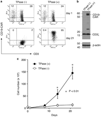 Fig 2. CD19-CAR expression and ex vivo expansion of Tol2-modified T-cells. (a) Surface expression of CD19-CAR on T-cells after nucleofection with pTol2-CD19-CAR with or without pCAGGS-mT2TP (TPase) plasmids was examined by flow cytometry. Values represent the percentages of CD3+ CD19-CAR+ and CD3− CD19-CAR+ cells. Data are representative of one of the three independent experiments using different donors. (b) CD19-CAR expression of Tol2-tranduced T-cells in the presence or absence of TPase as detected by western blotting with an anti-CD3ζ antibody. β-Actin was used as a loading control. (c) Growth rates of transduced T-cells with or without TPase. 3T3/CD19 cells were added weekly. Viable cells were enumerated by trypan blue exclusion. Data represent mean±s.d. from three different donors.