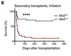 Fig 3. Survival analysis of LSK-derived leukemia cells that were secondarily transplanted from the initiation experiment (Figure 2A) into sublethally irradiated mice, n = 31 Msi2fl/fl and n = 31 Msi2Δ/Δ, combined from transplant experiments in Supplemental Figure 3A.