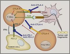 Fig 2. Antibody-Mediated Targeting of Negative Regulators of T Cell Responses.