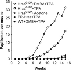 Fig.1 Topical administration of TPA to HrasG12V mice triggers papilloma development.