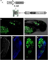 Fig 1. Targeted expression of eGFP-KRASmutant transgene in zebrafish pancreas.