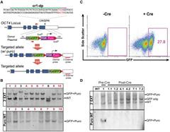Fig 1. CRISPR/Cas-Mediated Targeting of the OCT4 Locus through Drug Selection.