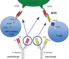 Fig 1. Anti-CD19 CAR T cell (the third generation) recognizes CD19 antigen on a tumor cell via an anti-CD19 single chain Fv (scFv) binding domain.