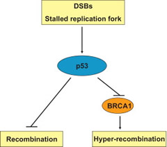 Fig. 7. Proposed model for the role of association between p53 and BRCA1 in the regulation of HR activity.