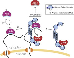 Fig 7. A Model for Recruitment of Aub and Ago3 to Nuage and Formation of the 4P Complex.