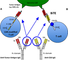 Fig 1. T cell activation and recruitment to tumor cells.