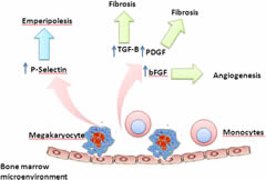 Fig 2. A working model summarizing the pathophysiology of bone marrow fibrosis in primary myelofibrosis.