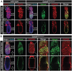 Fig 4. Co-expression of the Gata6 H2B-Venus reporter with endogenous GATA6 during early post-implantation development.
