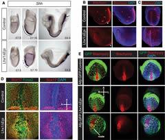 Fig 3. Lhx1 function is essential for midline morphogenesis.