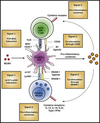Fig 2. Activation of CD8+ T Cells and NK Cells during MCMV Infection.