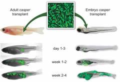 Fig 2. Evaluating metastasis of the ZMEL1 line using transplantation into the transparent casper recipient line.