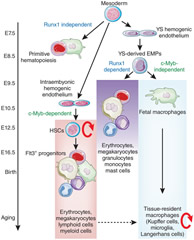 Fig 2. Myeloid development and maintenance in the mouse embryo and adult mouse.