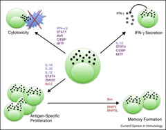 Fig 3. Regulation of NK cell function and memory.