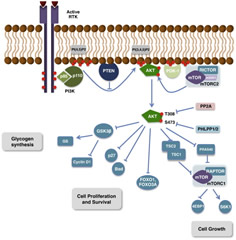 Fig 1. Overview of the PI3K/AKT/mTOR pathway and cellular processes controlled by downstream signaling.