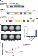 Fig 1. TC structure and oncogenic effects in vitro.