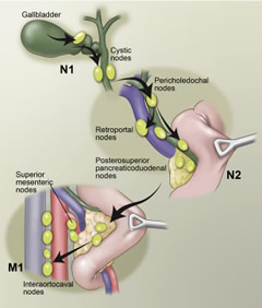 Fig 1. Lymph node drainage basins in gallbladder cancer.