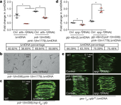 Fig 2. ATFS-1 promotes ∆mtDNA maintenance and mitochondrial biogenesis largely independent of Parkin.