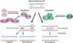 Fig 4. Two pathways for DNA joint molecule (JM) processing are regulated by phosphorylation and SUMOylation.