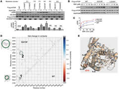 Fig 5. Characterization of the response of mTOR-activating mutants to RAPTOR-mediated inhibition; mTOR kinase domain mutants exhibit increased kinase activity and display structural reorganization.