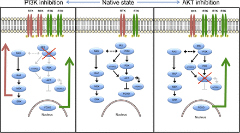 Fig 1. PI3K/AKT/mTOR signaling is regulated by intrinsic feedback.