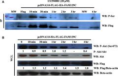 Fig 6. Effect of PI3K inhibition on BCNP1 phosphorylation at serine residues.