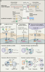 Fig 1. Customized Sensing and Transcriptional Responses Using the synNotch Receptor in T Cells.