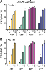Fig 5. NTP donor specificity of the AfuTrl1 and CimTrl1 5′ kinase reaction.