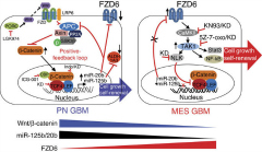 Fig 9. Model that summarizes the proposed regulatory circuit that controls GBM phenotypes.