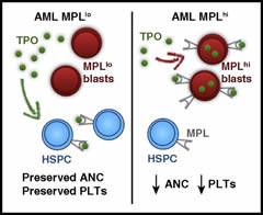 Fig.1 Proposed mechanism for MPL scavenging of TPO leading to neutropenia and thrombocytopenia in AML. PLTs, platelets.