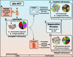Fig 1. The key role played by the thymus in T cell reconstitution after allo-HCT.