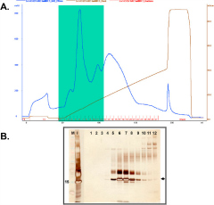 Fig 5. (A) Anion exchange chromatography profile of induced culture supernatant on a HiTrap Q Sepharose XL column. Elution was done in a linear gradient from 0 to 190 mM NaCl using 20 mM Tris-Cl/1 M NaCl pH 8. (B) Silver-stained SDS-PAGE shows fractions 1–12 (numbered lanes).