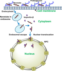 Fig 4. Model for proposed mechanism of nanoprobe translocation to the nucleus.