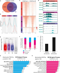 Fig 2. ChIP-Seq Experiments Reveal Distinct but Overlapping Patterns of H3K27 Acetylation on Asynchronous and Mitotic ESCs.
