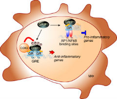 Fig 7. Differential utilization of GRIP1 phosphorylation at GR-regulated genes.