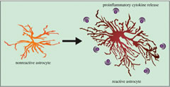 Figure 2. Cellular stress can trigger astrogliosis—increased numbers of reactive astrocytes.