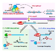 Figure 1. Roles of the mRNA Decapping Scavenger Enzyme DCPS in the Life Cycle of mRNA.