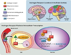 Figure 1. The formation of androgen receptor messenger RNA (mRNA) and its expression in higher order cognitive brain centers
