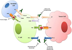 Fig 1. CTLA-4 and PD-1/PD-L1 checkpoint interaction between T cell and tumor. TCR T cell receptor, MHC major histocompatibility complex, CTLA-4 cytotoxic T lymphocyte antigen-4, PD1 programmed cell death protein 1, PD-L1 PD1 ligand