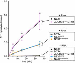 Fig 7. ZCCHC8CTD stimulates RNA-dependent ATPase activity of MTR4. Time courses of ATP hydrolysis in the presence or absence of the 3′ A25 tailed RNA duplex.