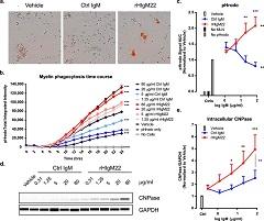 Fig. 1 Stimulation of BV-2 cells with rHIgM22 promotes myelin phagocytosis.