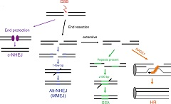 Fig. 2.1 DSB repair pathways. The two major DSB repair pathways in mammalian cells are nonhomologous end-joining (NHEJ) and homologous recombination (HR).