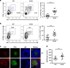 Fig. 1 Loss of miR-146a in B cells led to spontaneous GC reactions in aged mice.