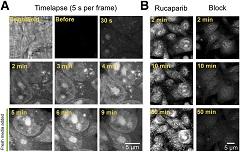 Fig. 2 Live cell imaging of rucaparib uptake.