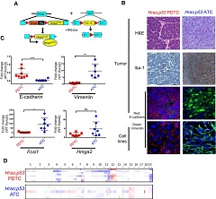 Fig. 1 Tpo-Cre/FR-HrasG12V+/+/p53f/f mice develop anaplastic and poorly differentiated thyroid cancers.