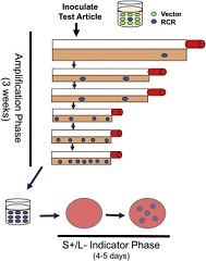 Fig. 1 Schematic representation of the extended RCR assay. The amplification phase allows any existing virus to increase.