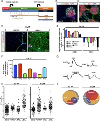 Fig. 1 Differentiation and functional characterization of trigeminal neurons derived from human iPSC under fully defined conditions.